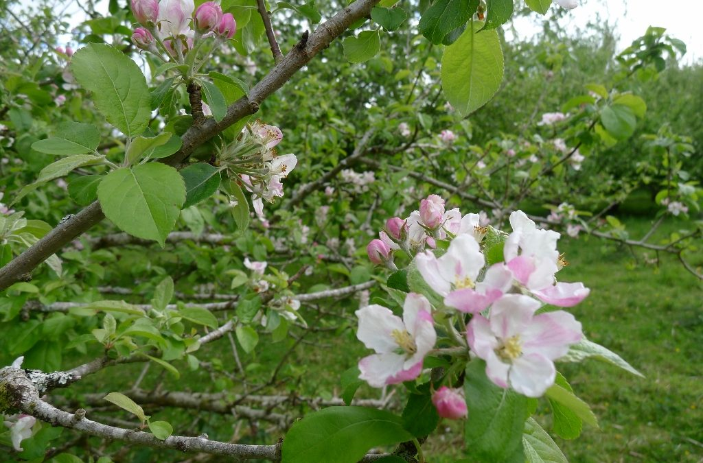 Apple Blossom in the orchards