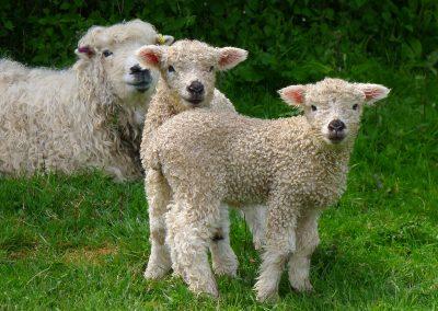 Lambs at Tuell Farm