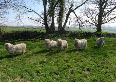Tuell Farm April Sheep